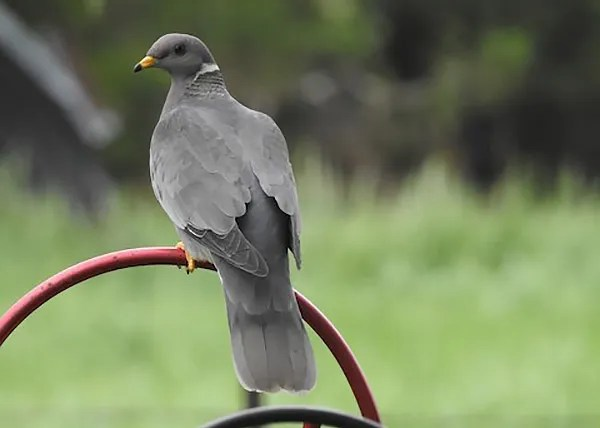 This Band-tailed Pigeon, Nebraska's fourth, was a real surprise at a Doniphan, Hall Co feeder 18–23 May 2018 (here 23 May). Photo © Sharla Meester.