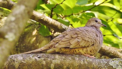 The only Alabama inland Inca Dove continued in Leighton, Colbert Co, 19–31 May 2018 (here 19 May). Photo © Rick Kittinger.