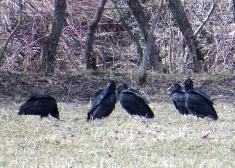 Several Black Vultures were seen in Apr 2018 in the Saint-Armand, Québec area, close to the border with Vermont, with a maximum of six birds 4–6 Apr (here 6 April). The largest number seen previously in the province was two. Photo © Bernard Cayer