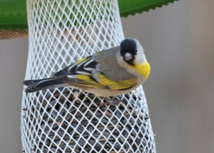 A super-surprise, this male Lawrence's Goldfinch, the first documented for the region, appeared erratically at a feeder in Lawton, Comanche Co, Oklahoma 9–28 March 2018 (here 9 March). Seen by the persistent and lucky. Photo © Lou Truex.