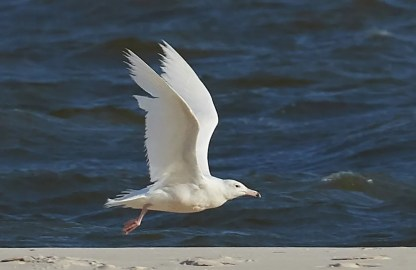 Rare in the region, this Glaucous Gull at Dauphin Island, Mobile Co, Alabama 30 Mar–13 Apr 2018 (here 5 Apr) was one of two this season, one in each State. Photo © Andrew Haffenden.