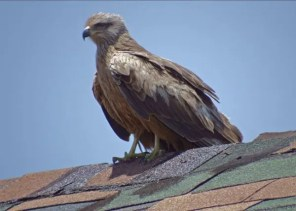 """A Black Kite at Matthew Town, Great Inagua from 2–23 May was the first record for the Bahamas. Photographed here on 2 May 2018, this kite is from the Old World. Photo © Randolph """"Casper"""" Burrows."""