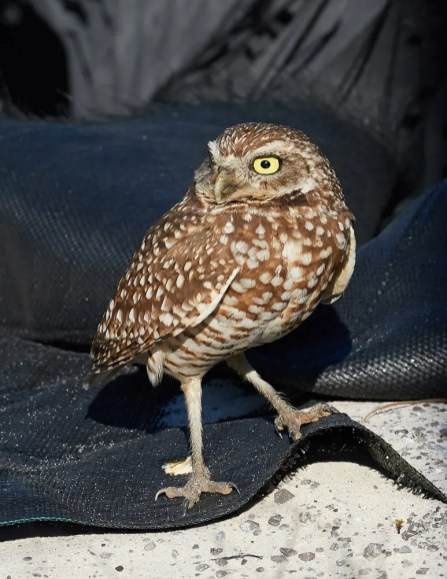 Alabama's second Burrowing Owl was seen by many near the edge of a parking lot on Dauphin Island, Mobile Co, 22–26 Mar (here 22 Mar). Photo © Andrew Haffenden.
