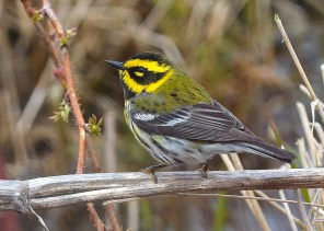 This male Townsend's Warbler at Cap Tourmente, Québec 5–7 May 2018 (here 5 May) provided only a third confirmed record for the province. Photo © Daniel Campeau.