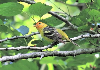 Two different rare Western Tanagers were found in Fairhope, Baldwin Co, Alabama 18 Apr and (here) 26 Apr 2018. Photo © Bill Summerour.