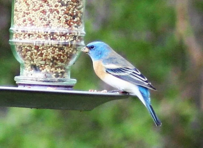 Alabama's second and first inland Lazuli Bunting was at a feeder in Phenix City, Russell Co, 29 Mar 2018. Photo © Carolyn Stinson.
