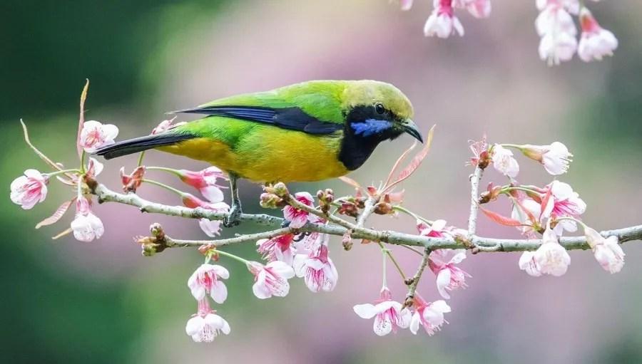 Orange-bellied Leafbird (Nick Athanas)