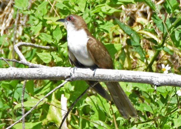 Black-billed Cuckoo is a scarce visitor to Bermuda. This bird was present for one day at Spittal Pond and photographed there on 17 Jun 2018. Photo © Andrew Dobson.