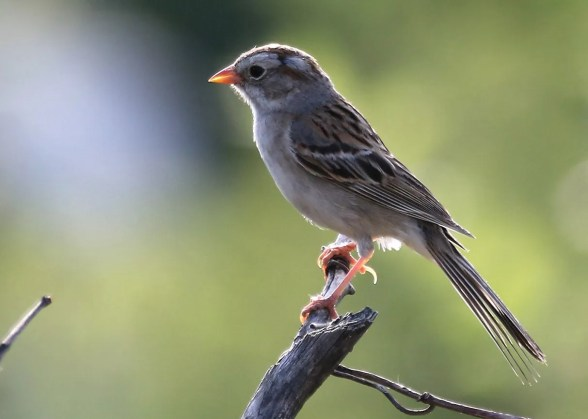 This presumed Field Sparrow x Clay-colored Sparrow hybrid was heard singing like a Clay-colored Sparrow at Godmanchester, Québec 1–3 Jul 2018 (here 1 July). Photo © Luc Tremblay