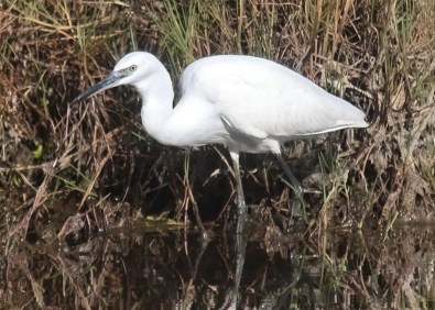 A very rare vagrant to Bermuda, this Little Egret was at Spittal Pond 6–15 Oct 2018. Photographed here 6 Oct 2018. Photo © Neal Morris.