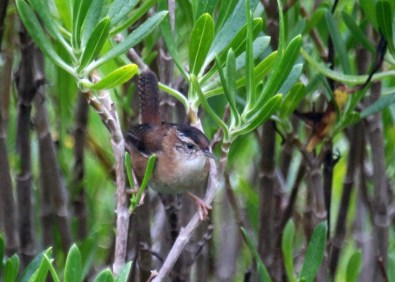 Bermuda's second record of Marsh Wren was at Spittal Pond 17–30 Nov 2018, providing good views for observers. Photographed here 18 Nov 2018. Photo © Neal Morris.