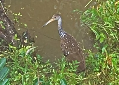 Though appearing more often in recent years to the east in Alabama, Limpkins are only casual in Mississippi. One was an exciting surprise in Marshall County 24 Sep 2018. Photo © Karen Dierolf.