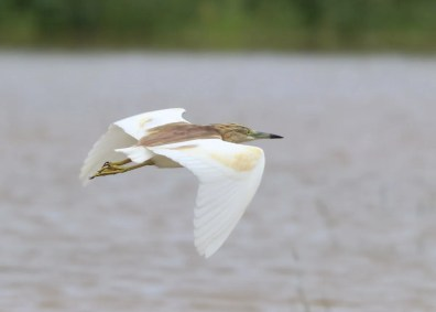 The Squacco Heron discovered at La Désirade Island, Guadeloupe 10 Nov 2018 reveals white wings in flight, as in this photo on the same date. Photo © Anthony Levesque.