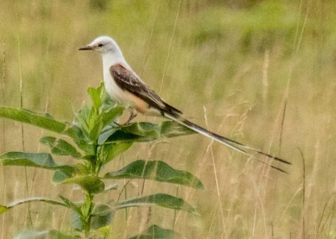 The Scissor-tailed Flycatcher has now been seen slightly more than 30 times in Québec. This one was discovered at La Minerve 6 August, 2018. Photo © Fannie Mathieu.