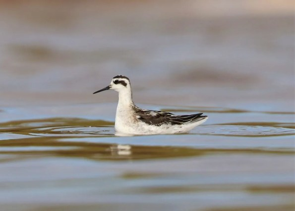 A Red-necked Phalarope seen at Pointe des Châteaux 14 Sep 2018 was a complete surprise, providing only the second Guadeloupe record. Photo © Anthony Levesque.