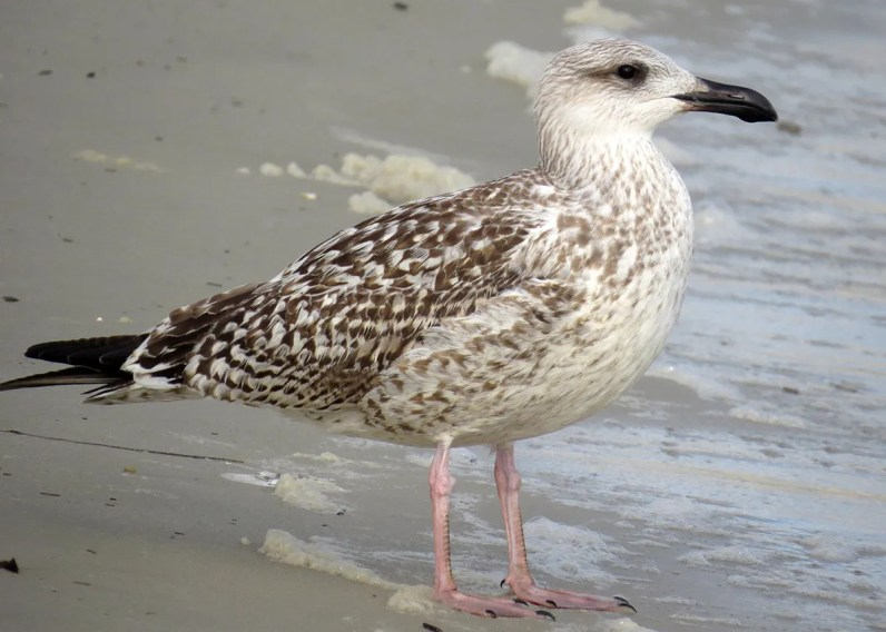 Rare but regular on the Mississippi coast, a first-cycle Great Black-backed Gull was unexpected as early as 27 Aug 2018 at Biloxi, Harrison County. Photo © Holly Cox.