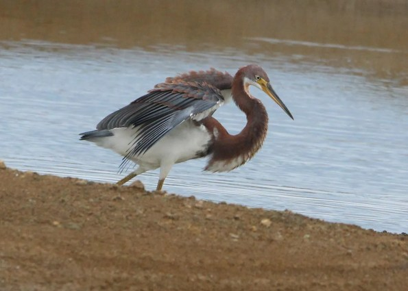 This juvenile Tricolored Heron was a scarce inland find 18 Aug 2018 near Trinity, Lowndes County, Mississippi. Photo © Marion H. Schiefer.
