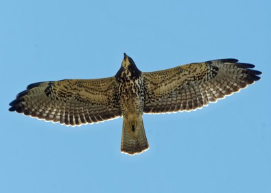 Rare but now regular on the Alabama coast, sometimes in small groups, an immature Swainson's Hawk was spotted at Fort Morgan, Baldwin County 18 Oct 2018. Photo © Karen Chiasson.