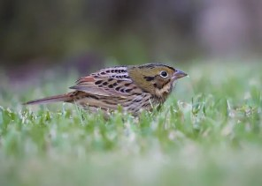 Imagine convincing your birding friends about a Henslow's Sparrow you just found feeding blissfully in the short grass campus lawn as you were walking to class! That was the scene 29 Oct 2018 at the University of Alabama, Tuscaloosa, when this individual inexplicably allowed long study by multiple observers. Photo © Eugene Huryn.