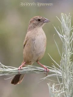 Botteri's-Sparrow---Homer-Hansen