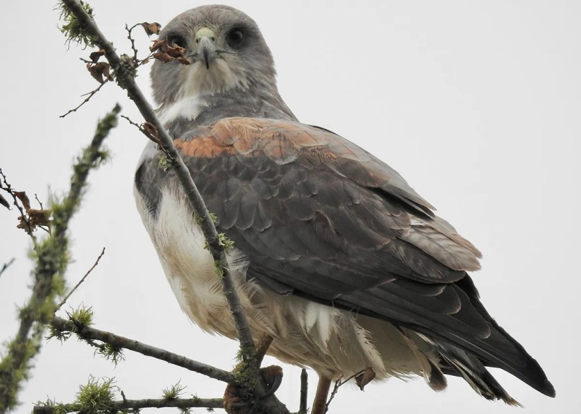 Birders looking for the brace of Fork-tailed Flycatchers near Sweet Lake, Calcasieu Parish, Louisiana, were treated to the surprise of an adult White-tailed Hawk in the area, seen here on 19 Dec 2018. White-tailed Hawk range seems to be expanding into Louisiana, but they still generate excitement whenever they're found. Photo © Van Remsen.