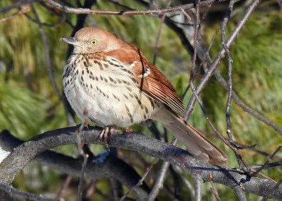 This Brown Thrasher at Rouyn-Noranda 12 Dec 2018 was one of five reported in Québec this winter. Photo © Nicole St-Amant.