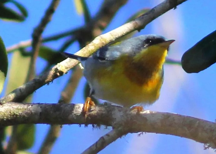"""This warbler, discovered on 13 Jan 2019 near Pecan Island, Vermilion Parish, Louisiana, looks great at first glance for Tropical Parula, but a closer look shows a few white feathers around the eye and a very pronounced necklace, betraying possible Tropical x Northern parula ancestry. Many of the """"Tropical"""" parulas that Louisiana has hosted in the past have shown such markings. Photo © Phillip A. Wallace."""