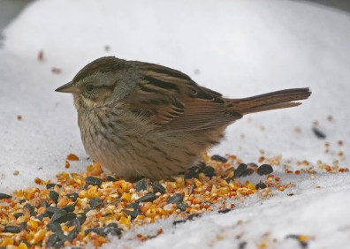 This Swamp Sparrow at Roberval, Québec on 26 Dec 2018 was one of three reported in Québec this winter. Photo © Céline Bellemare.