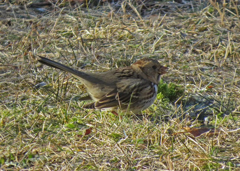 Casual to Nova Scotia, this Harris's Sparrow was present in Dartmouth 12 December 2018 through 8 January 2019. Here photographed 12 December 2018. Photos © Pat McKay.