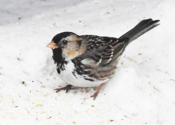 The Harris's Sparrow has now become an almost annual vagrant in Québec. This individual was present at Saint-Liguori 4–10 Jan 2019 (here 4 Jan). Photo © Raymond Piché.
