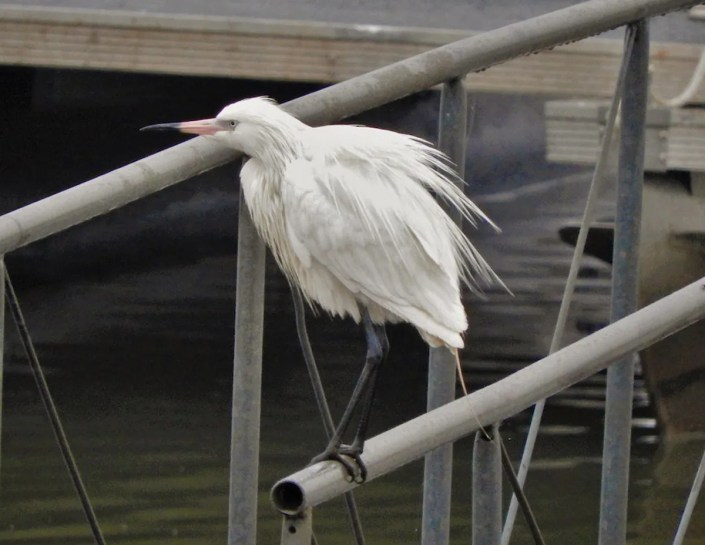 A strange surprise was this white morph Reddish Egret located at the Stroud Lake docks, Creek Co, Oklahoma on 24–25 Mar 2019 (here 24 Mar 2019). Photo © Brian Marra.