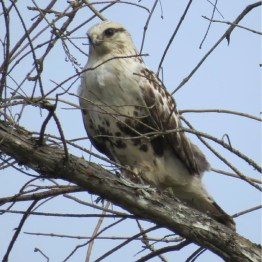 Rough-legged Hawks have become rare visitors to Louisiana, so this individual within sight of the Gulf of Mexico was a surprising spot in Cameron, Cameron Parish on 5 May 2019. Photo © Kathleen O'Shaughnessy.