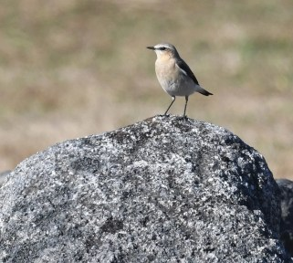 The Northern Wheatear is a rare breeder in northern Québec. It is rare but regular in migration in eastern Québec. This individual was photographed at Rivière-Éternité, Saguenay 24 May 2020. Photo © Yannick Fleury.