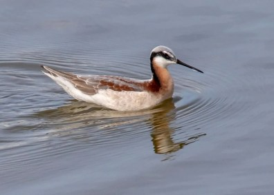 Wilson's Phalarope female 8 May 2019 at Blakeley Mud Lakes, Baldwin Co, Alabama, where rare but regular in spring. Photo © Patsy Russo.