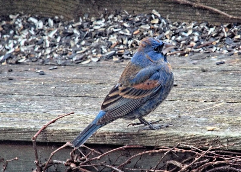 This Blue Grosbeak lingered in Cornwall, Prince Edward Island late April through 4 May, providing the province with its fifth record of the species. This photograph was taken May 4. Photo © Fred Gill.