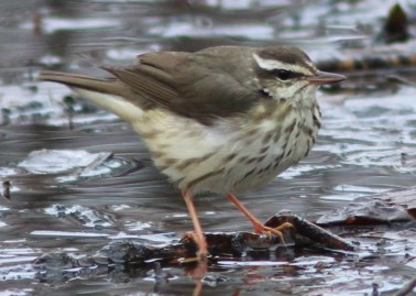 This early Louisiana Waterthrush was seen by many at the Montréal Botanical Gardens in Québec 14–30 April (here 16 April). This species is a very local breeder in the province. Photo © Yves Gauthier.
