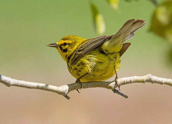 The Prairie Warbler appears almost annually in the Region but has not nested yet. This male was photographed at Saint-Jean-Port-Joli 24 May 2020. Photo © Marie-Hélène Saint-Pierre.