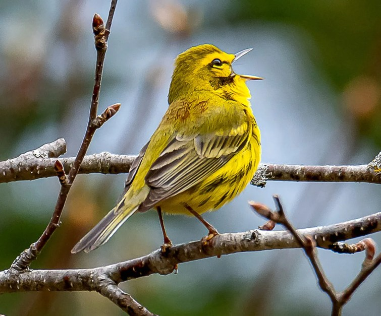 A male Prairie Warbler was present for the second consecutive year at Stanstead, Québec, 13 May 2019. Photo © Marc Théberge.