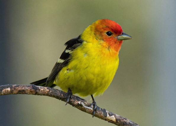 This male Western Tanager brightened Saint-Honoré, Québec, 31 May–3 June 2019 (here 31 May). Photo © Guy Tremblay.