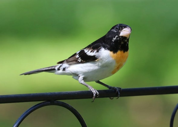 Xanthochromic male Rose-breasted Grosbeak 1 May 2019 at Montevallo. First xanthochromic Rose-breasted for Alabama. Photo © Jeremy Black.