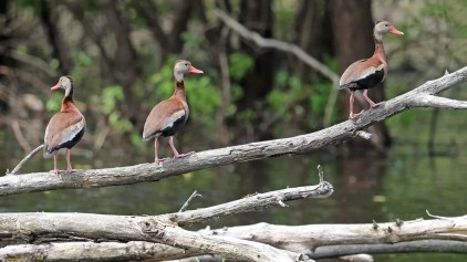 A remarkable group of 10 Black-bellied Whistling-Ducks lingered at Saint-Ignace-de-Loyola 20 Jun–5 Jul (here 21 Jun). Photographed by Daniel Jauvin.