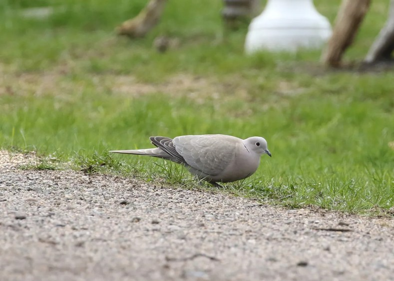 This Eurasian Collard-Dove, which has been present since the winter of 2018, lingered through the season at Melvern Cross, NS providing the province with its fifth record of the species. Photo © Mark Dennis