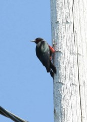 This Lewis's Woodpecker was present at Duncan's Cove 5–8 July at Duncan's Cove, NS providing that province with its second record of the species. Photo © Mark Dennis
