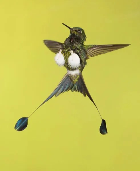 Booted Racket-tail is easy to see and photograph at Tandayapa Bird Lodge (Pablo Cervantes D)