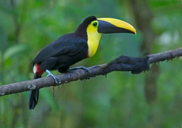 5 species of toucan are possible on this trip (Pablo Cervantes D)