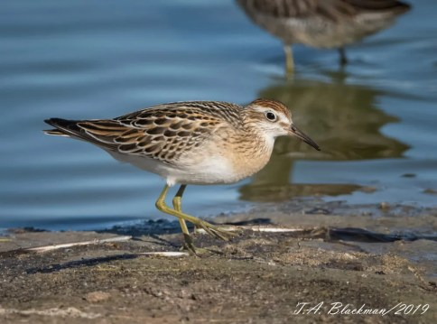 This Sharp-tailed Sandpiper, the first to be found in Imperial Co, California, was near Westmorland 11 Oct 2019. Photo © Tom M. Blackman.
