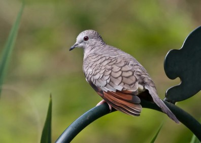 Still rare but increasing on the Alabama coast, two Inca Doves were on the Fort Morgan Peninsula, Baldwin Co 31 Aug–3 Sep 2019 (here 3 Sep). Photo © Janice Neitzel.