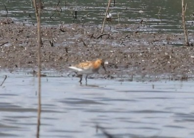 Hundreds of birders descended upon Emiquon NWR in Fulton Co, Illinois after the states' first Little Stint was discovered here on 3 Aug and lingered through 7 Aug. Photo © Keith McMullen