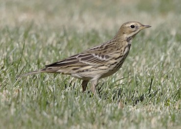 Red-throated Pipits were scarcer than normal this fall. This one was at a small desert park in the eastern Antelope Valley, Los Angeles Co, California 3–5 Nov 2019 (here 3 Nov). Photo © Mark Scheel.