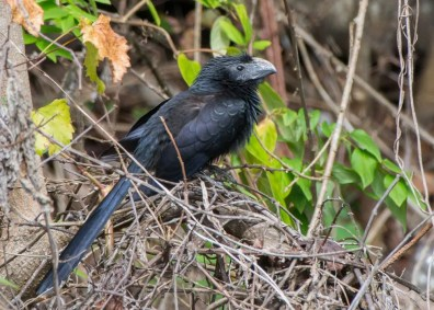 The strange but wonderful Groove-billed Ani is a rare but regular visitant to the Mississippi coast. This bird was at Gulfport, Harrison Co 2–3 Nov 2019 (here 2 Nov). Photo © Collin Stempien.
